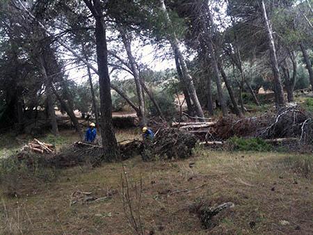 Según el concejal, la nevada del pasado 28 de  febrero ha sido la principal causante de que muchos pinos se cayeran